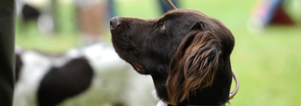 bandeau-chien-arret-allemand